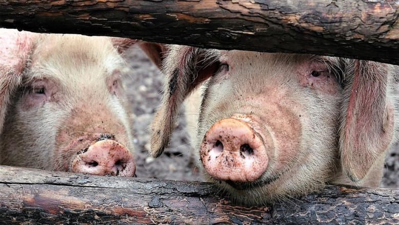 Водата - значението и за свинете