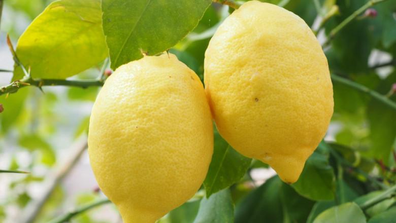 Поливане на лимоните отглеждани в домашни условия