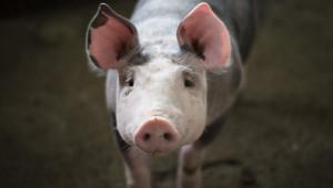 Още една свинеферма пребори БАБХ на първа инстанция