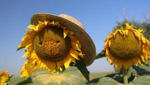 Цената на слънчогледа чупи рекорди за година