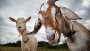 Животновъди, все още можете да отсрочите заемите си към ДФЗ
