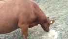 Продавам говеда кръстоска с абърдийн - Снимка 3