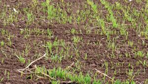 Сушата попречи на поникването на пшеницата край морето