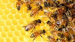 Учени създадоха световна карта на пчелната популация - Agri.bg