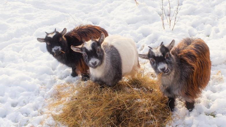 Научете тънкостите при развъждане на местни породи овце, кози и шилета