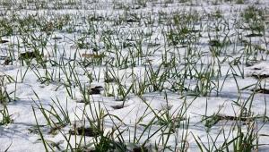 Падналият сняг е благодат за пшеницата в Добруджа