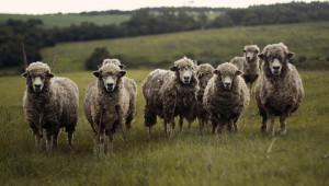 НОКА предлага минимум 30 евро на овца за хуманно отношение