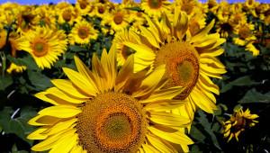 Тайната на успеха: При отглеждане на слънчоглед е важен сеитбооборотът!