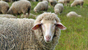 Новите правила за обвързана помощ за овце и кози след 2022 г. - Agri.bg