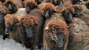 Каракачански овце в покрайнините на София