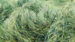 За първи път: Държавна помощ за застраховане на зърно