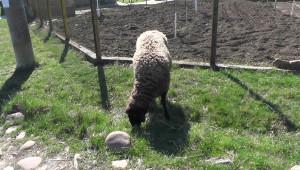 Овце умрели от разпилени изкуствени торове?