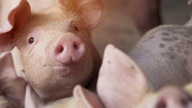 Свиневъд от севера: Преработвателите на юг не искат нашето месо