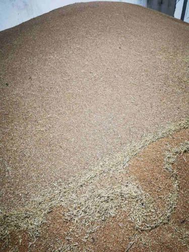 Продавам около 15 тона пшеница в Долна Митрополия - Снимка 2