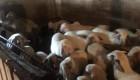 Продавам агнета кръстоска между аваси и асаф - Снимка 3