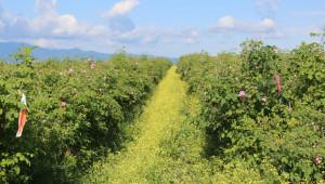 При бране на зелено розите могат да получат до 100 лв./дка