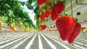 Как се отглеждат ягодоплодни на почва и чрез хидропоника?