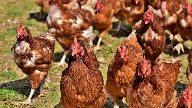 Хуманното отглеждане на кокошките е все по-важно за българите