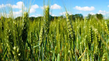 Колко струва да произведеш декар пшеница? - Agri.bg