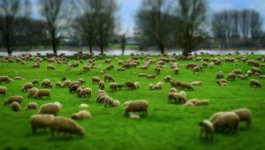 Несъответствие: Къде отидоха 200 хил. овце?