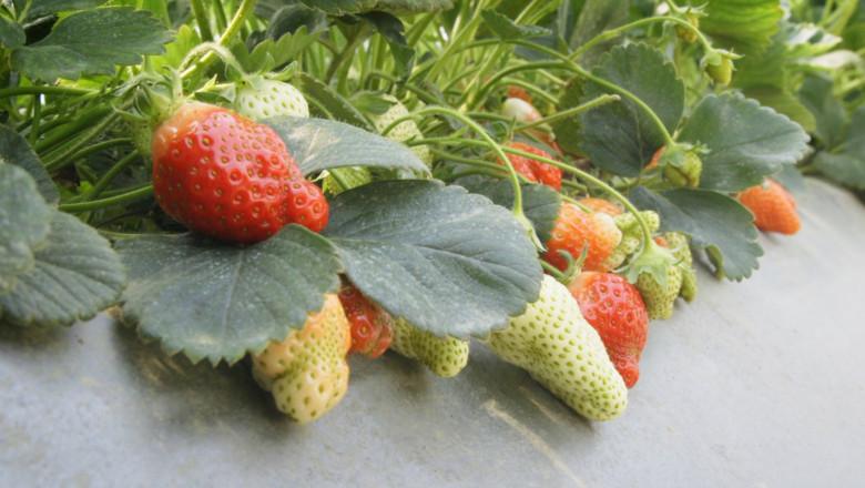 Семейна ферма за ягоди с отлични добиви без пестициди и минерални торове