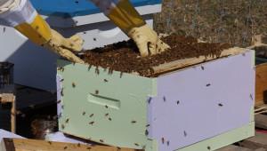 Запознайте се с методите на селекция и майкопроизводство в личния пчелин