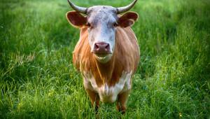 Бик нападна пастир, има опасност за живота на човека