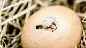 Ще бъде ли забранено убиването на мъжки пилета?
