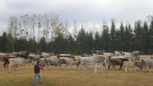 Научете всичко за Искърското говедо и Родопското късорого говедо