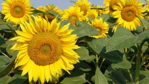 В Добруджа: Надежди за добра реколта от слънчоглед