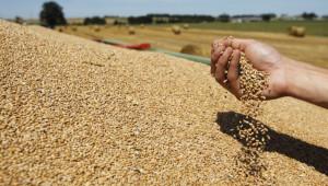 Преди края на жътвата: Пшеницата е с близо 40% повече