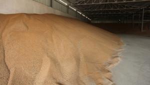Какво ни казахте: Масово добивите от пшеница са между 500 и 700 кг/дка