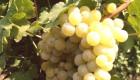 Продавам грозде - Снимка 1
