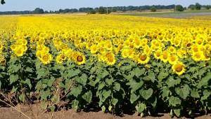 Над 300 кг/дка среден добив от слънчоглед очакват в Добруджа