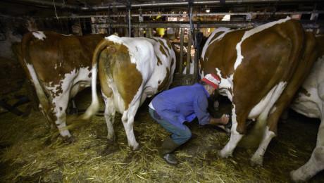 Мастит: Най-застрашени са кравите, които се отглеждат свободно боксово на слама - Agri.bg