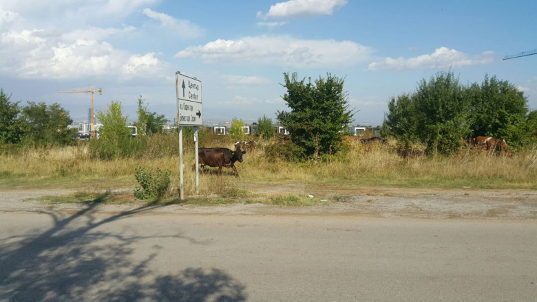"Стадо крави ""регулира"" движението на оживен път"
