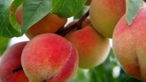 Как се прави селекция на нови, устойчиви овощни видове?