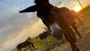Фермер ще инвестира 210 000 евро за преработка на магарешко мляко - Снимка 3