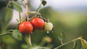 Обвързано подпомагане: За кои зеленчуци напояването ще е задължително?