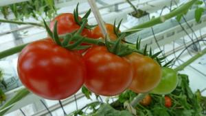 Вижте разработена система за проследяване на оранжерийни зеленчуци
